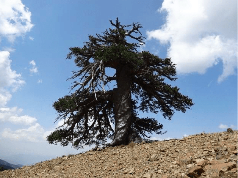 Oldest living tree in Europe found in Greece 1