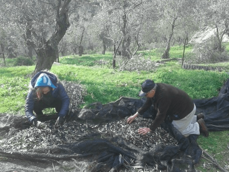 Local olive oil producers from Lesvos helping their island recover 28