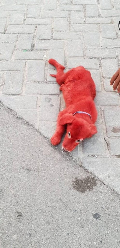 Public rage as puppy is found with hair dyed red in Chalkida 3