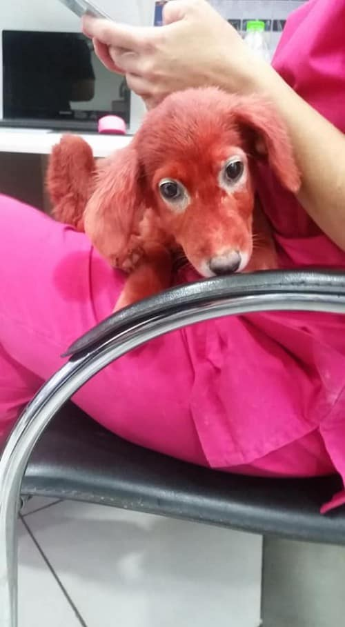 Public rage as puppy is found with hair dyed red in Chalkida 4