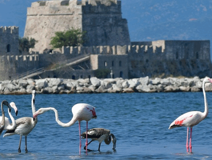 Migrating Flamingo Family make a stop over at Nafplio harbour 21