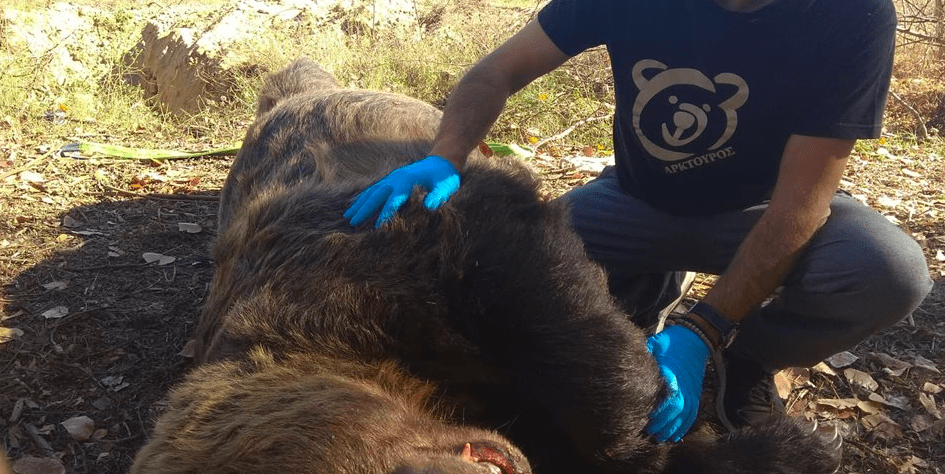 Greece's largest bear killed in a road accident near Kastoria 3