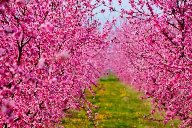 Veria's stunning Peach Farms are set to become world famous 2