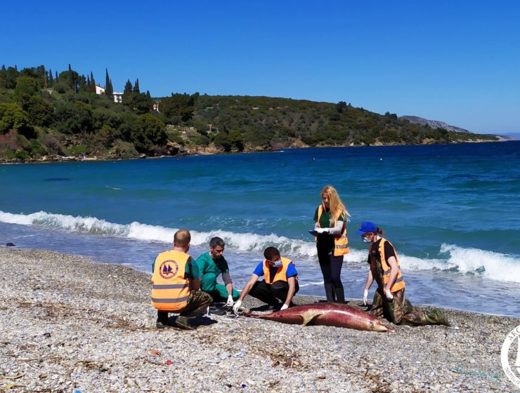 Worrying number of dolphin deaths in the Aegean Sea 28