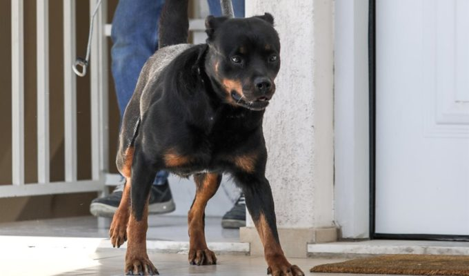 Parents whose baby girl was killed by Rottweiler request for dog to stay with family 1