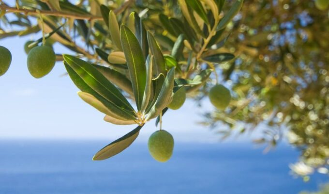 Study proves olive oil is the key to improving food safety 1