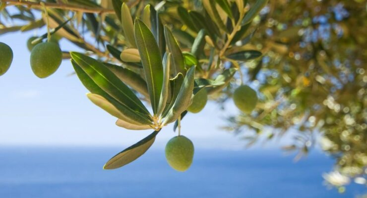 Study proves olive oil is the key to improving food safety 8