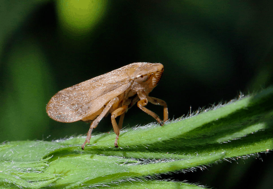 * Philaenus Spumarius, (Meadow Spittlebug), the known vector of Xylella fastidiosa pauca causing the Olive Quick Decline Syndrome OQDS (or CoDiRO).