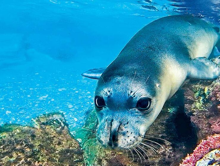 Alonissos monk seal