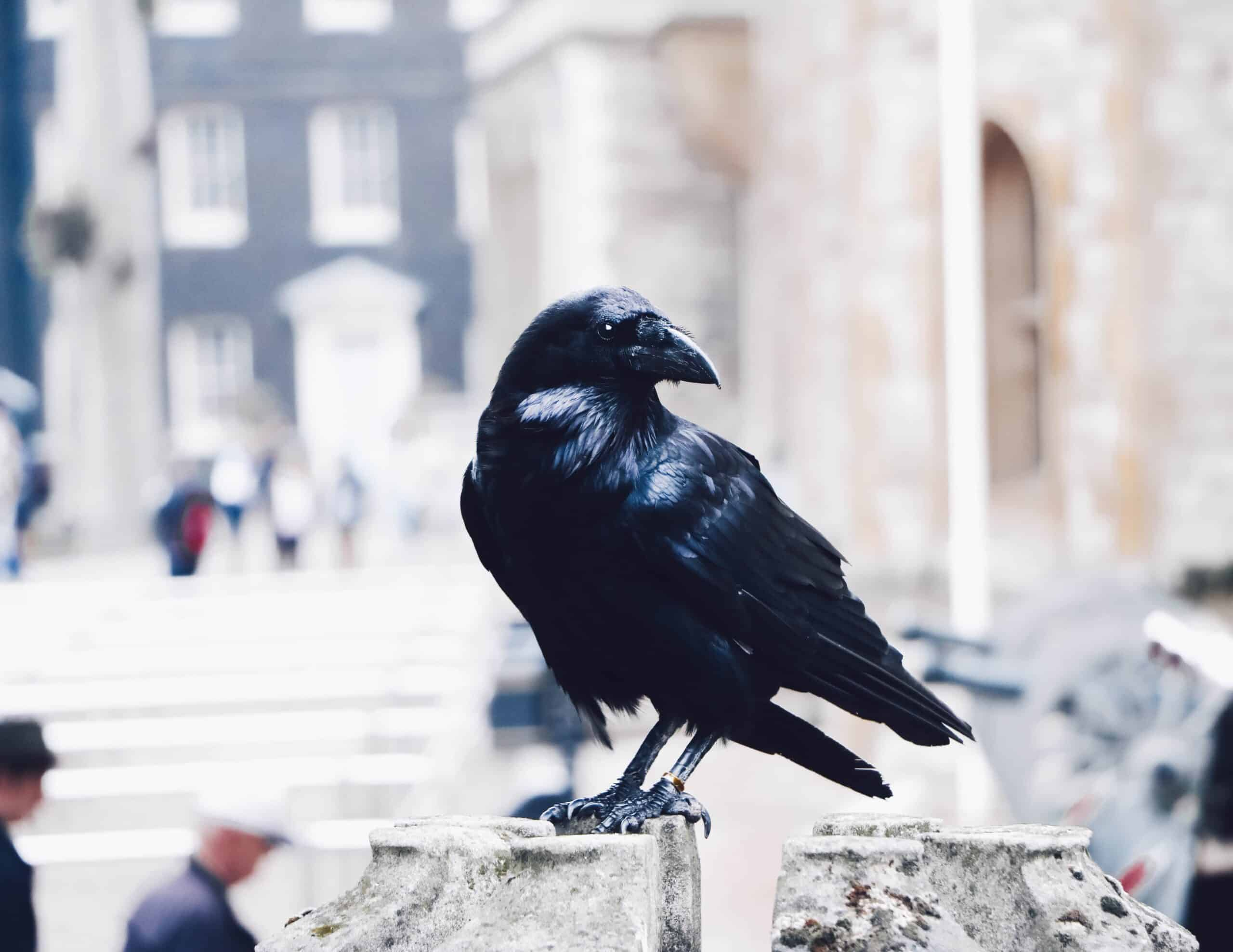 crows Greek superstitions