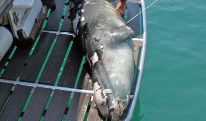 Kostis, the adorable and friendly seal-mascot of the island of Alonissos Murdered 8
